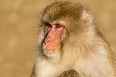 brownish: Monkey close up