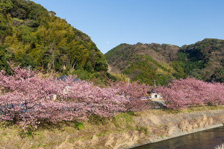 Cherry tree in kawazu