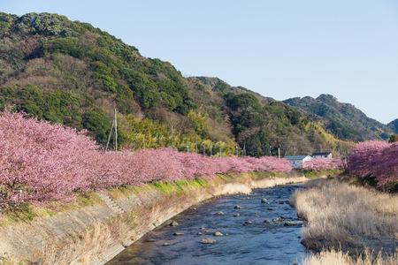 rapaseed: Sakura tree and river in kawazu Stock Photo