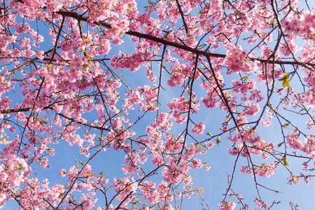 sakura flowers: Sakura