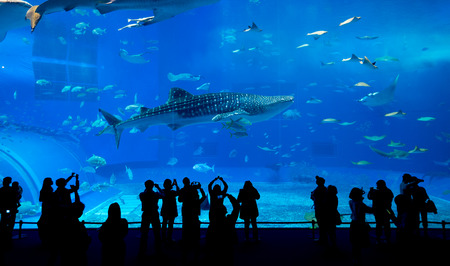 whale shark: Whale shark in Okinawa Churaumi Aquarium