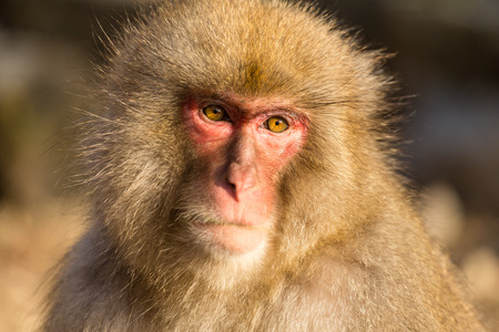 wildness: Wildness snow monkey