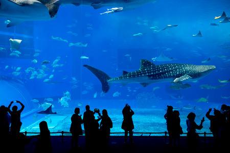 wrasse: Whale shark at Churaumi aquarium in Okinawa