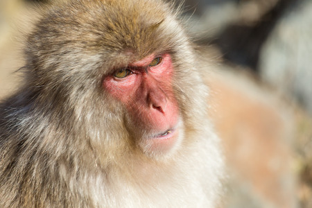 wildness: Wildness Japanese Monkey