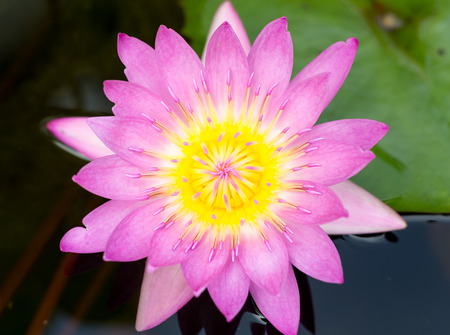 veiw: Water lily on top veiw