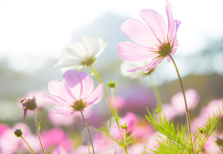 Cosmos flowers at sunset