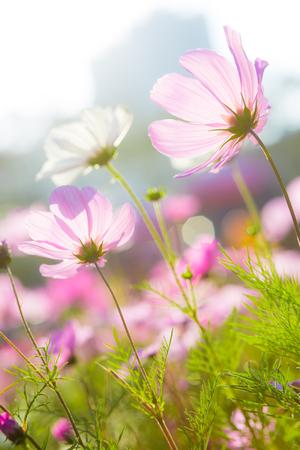 cosmos flower: Cosmos flower in garden Stock Photo