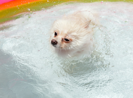 when: White pomeranian dog shakes off water when swimming