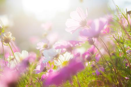 cosmo: Cosmo flower under the sun Stock Photo