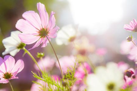 sunlgiht: Cosmo flower