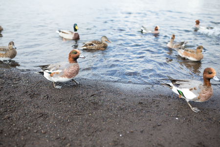Group of ducks in lake Stock Photo
