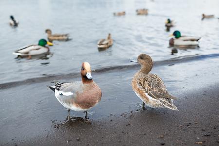 Ducks and lake Stock Photo
