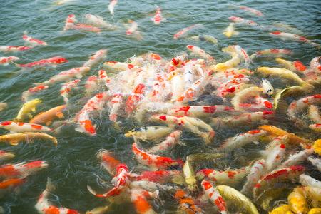 koi: Koi fish in pond Stock Photo