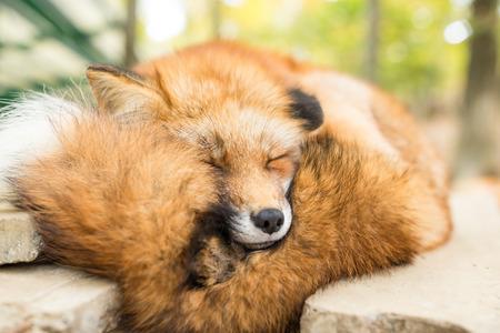 Wild fox sleeping Stock Photo