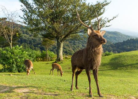 hoofed: Buck deer