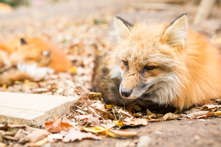 Adorable fox