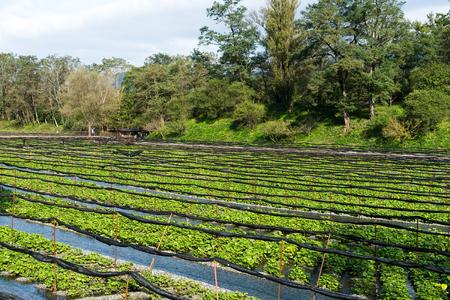 Wasabi farm in Nagano Stock Photo