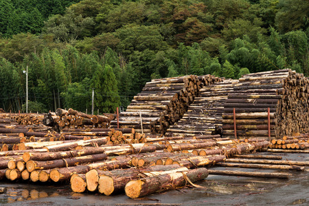 Forest pine trees for Timber industry