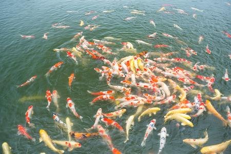 koi: Koi fish in the garden pond