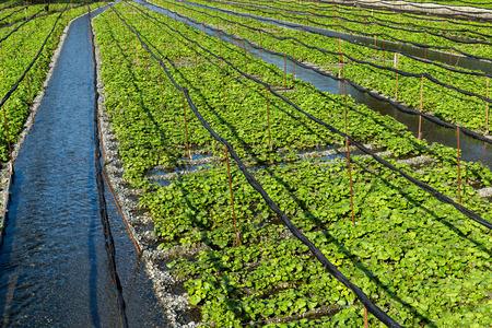 Green wasabi field Stock Photo