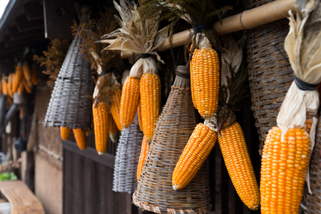 drying corn cobs: Dried corn hanging on outdoor