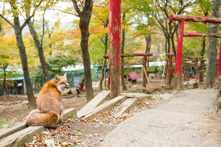 torri: Red fox with japanese torri