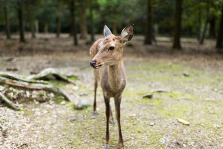 nara: Nara deer Stock Photo