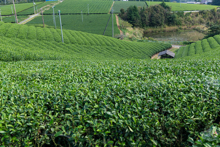 Green Tea field Stock Photo