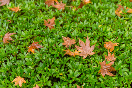 ample: Maple tree on green lawn