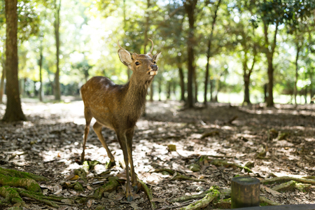 Wild deer in Nara park with sunlgiht