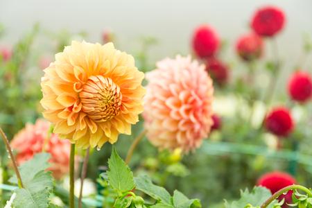 florescence: Beautiful Chrysanthemums flower pot