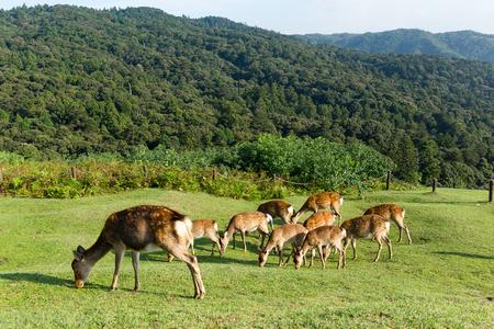 rack mount: Deer eating grass