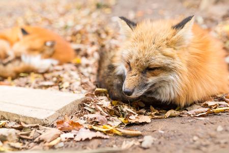 Sleepy red fox Stock Photo