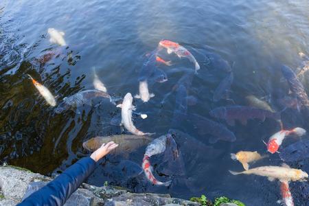 koi: Feeding koi fish