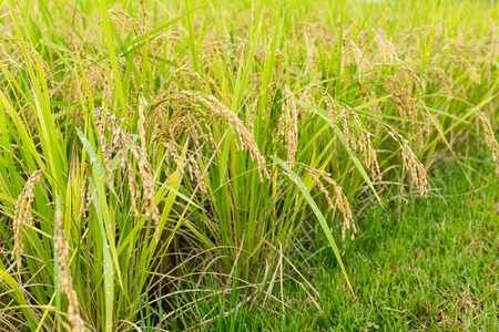 Paddy Rice farm Stock Photo