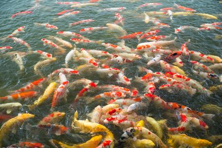 koi: Carp fish