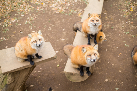sitting on the ground: Group of fox at zoo park