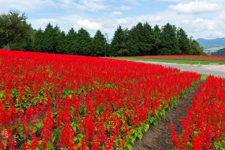 Red Salvia farm