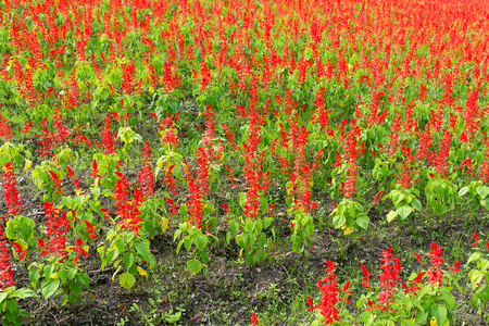 lamiales: Red Salvia farm