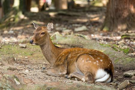 mule deer: Deer lying down