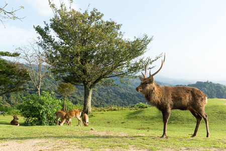 whitetailed: Deer herd