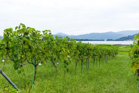 Druivenkwekerij