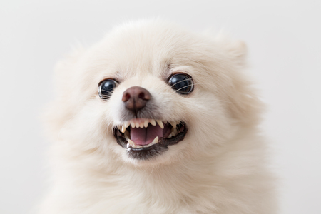 White pomeranian dog barking