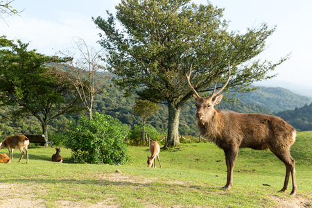 whitetailed: Deer herd and Deer buck standing in front