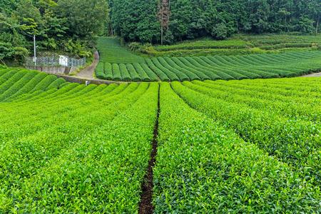 japanese tea garden: Green Tea plantation