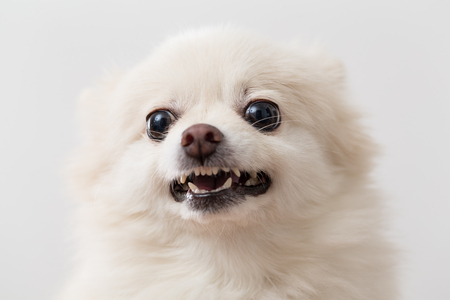 Pomeranian getting angry Stock Photo