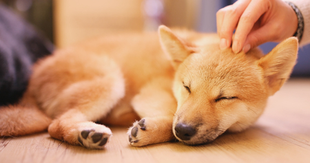 Pet owner touch on little puppy shiba inu dog
