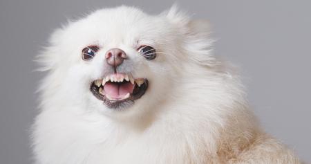 White Pomeranian dog get angry