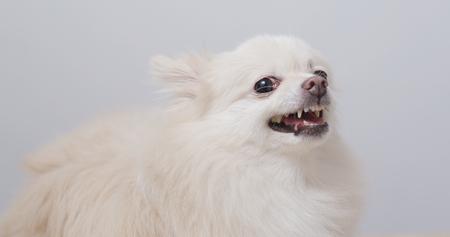White Pomeranian dog feel angry