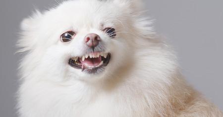 Pomeranian dog barking  Stock Photo